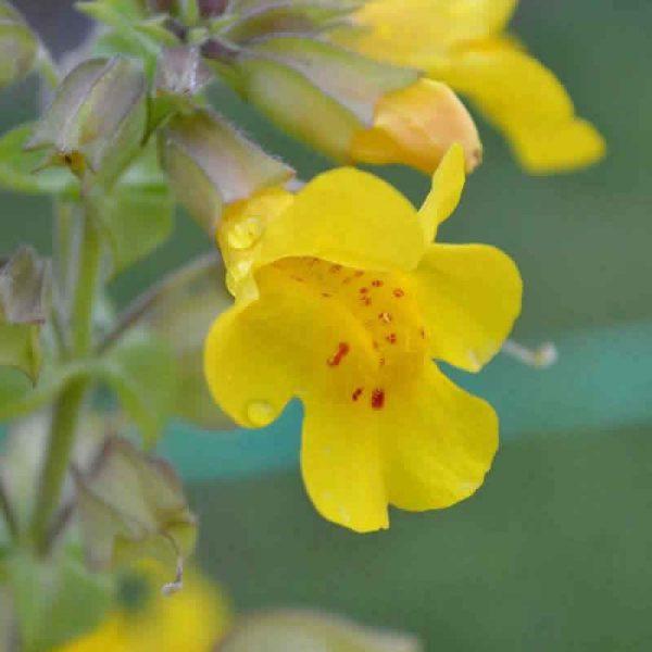 Elixir Floral Mimulus Mimule