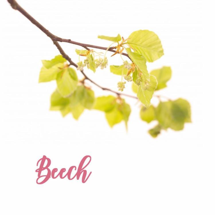 Fleur de Bach Beech Hêtre