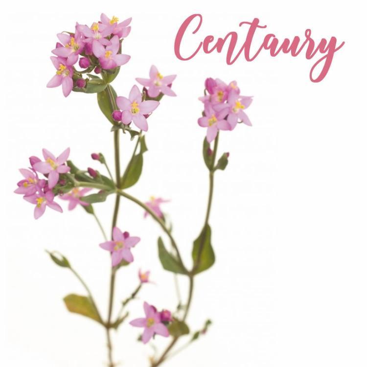 Fleur de Bach Centaury Centaurée