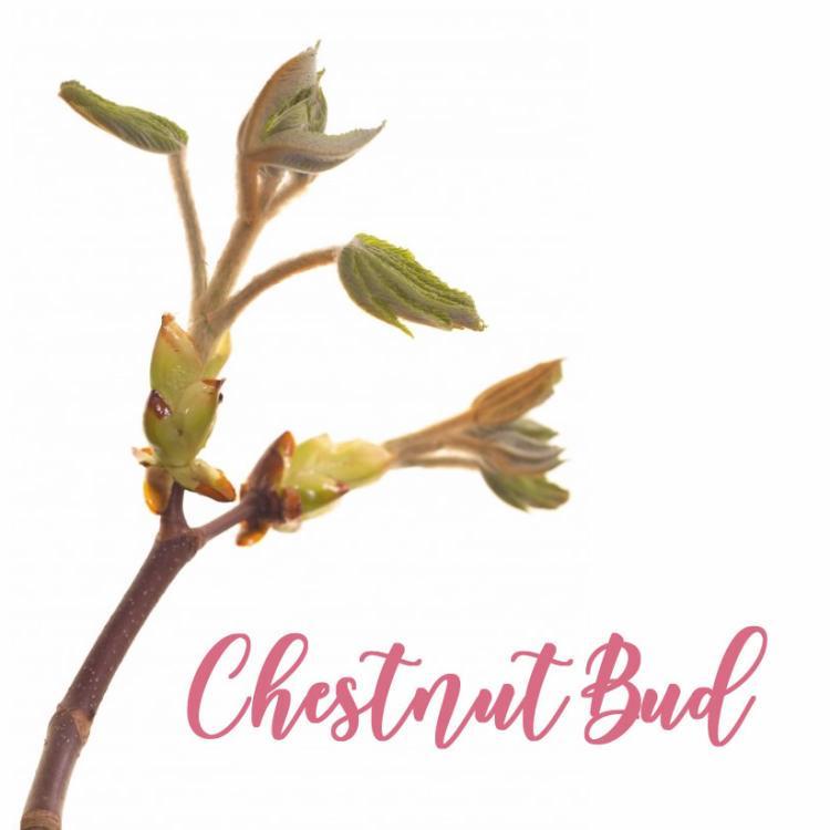 Fleur de Bach Chestnut Bud Bourgeons de Marronnier