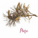 Fleur de Bach Pine Pin Sylvestre
