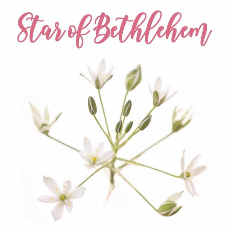 Fleur de Bach Star of Bethlehem Etoile de Bethlehem