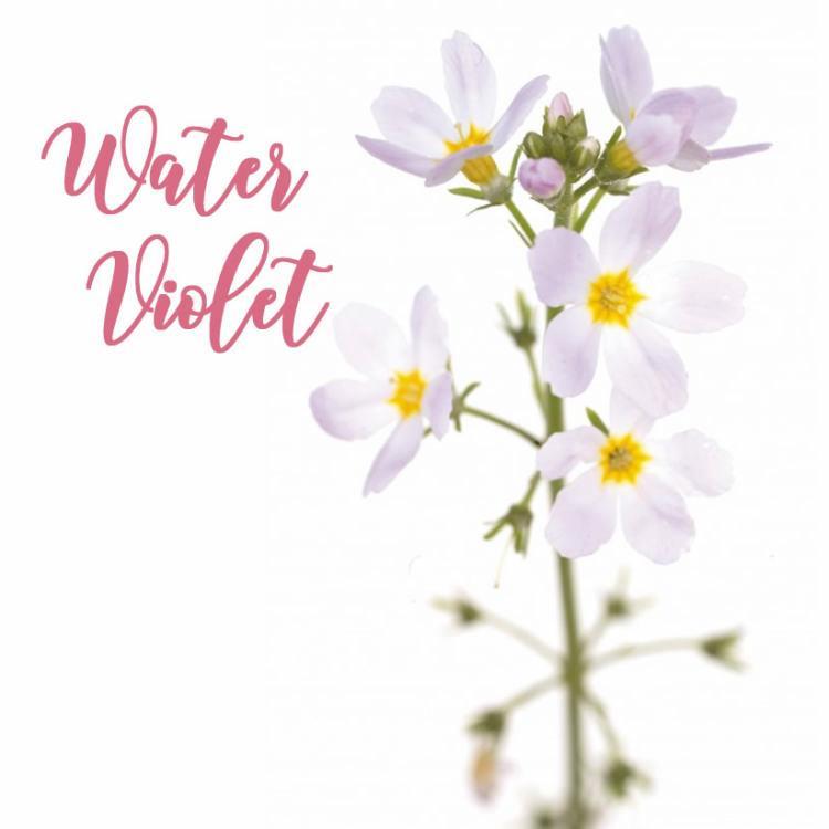 Fleur de Bach Water Violet Violette d'Eau