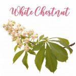 Fleur de Bach White Chestnut Marronnier Blanc